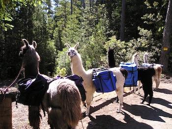Lodging_and_Llama_four_llamas
