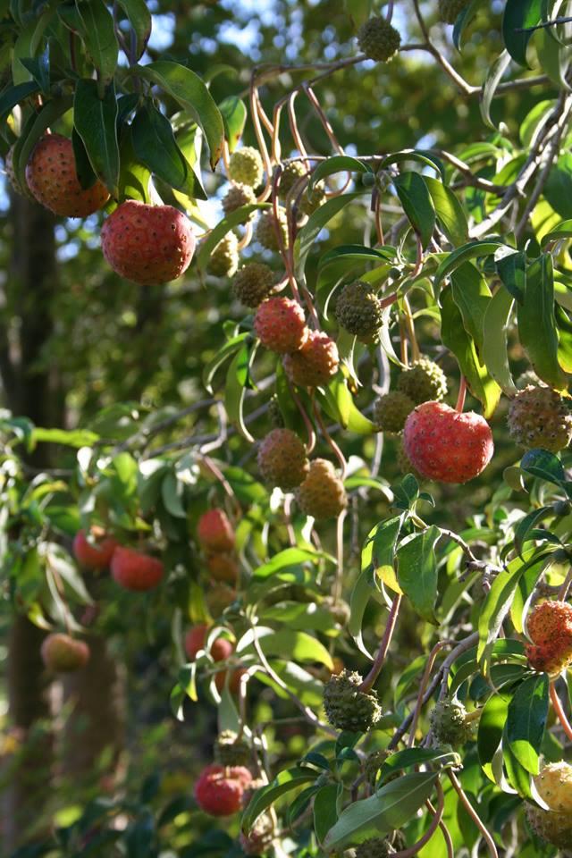 QHill_Cornus capitata fruit