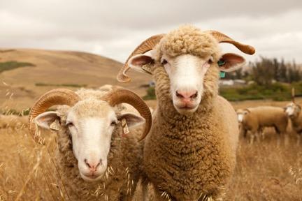 SHEEP_8704