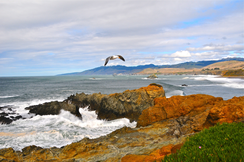 Coast_bird_Sonoma_County_006